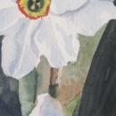 nancy_mclean_poets_daffodil
