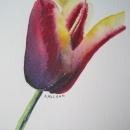 nancy_mclean_tulip